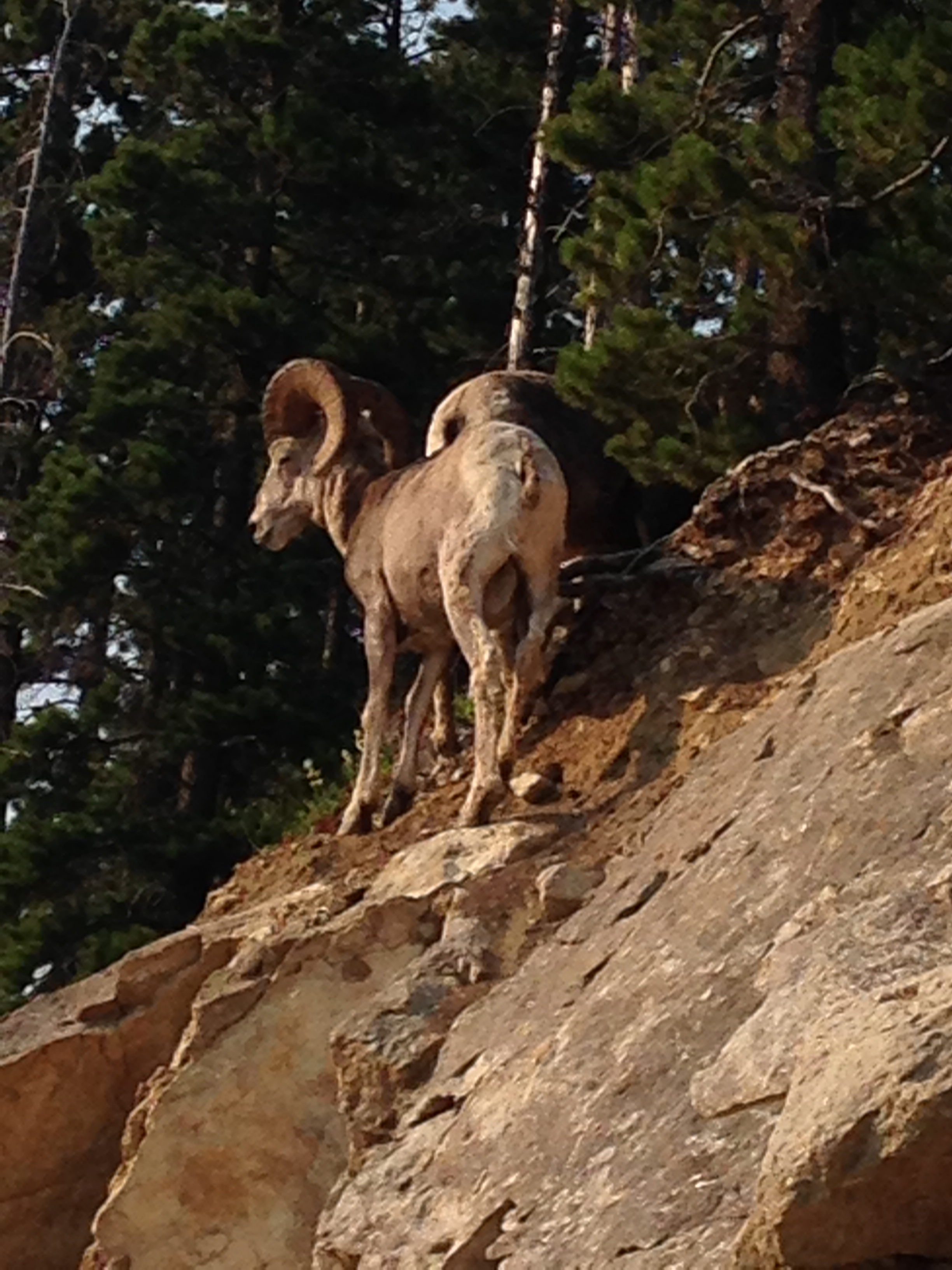 Big-horn sheep on Mt.Baldy